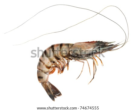 Raw black tiger shrimp on white background - stock photo