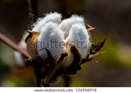 Raw Cotton Growing in a Cotton Field.  Beautiful Closeup of a Cotton Boll.