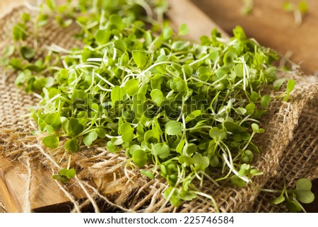 Raw Green Arugula Microgreens on a Background - stock photo