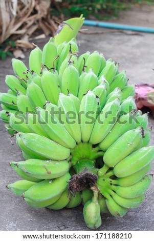 Raw green banana bunch - stock photo