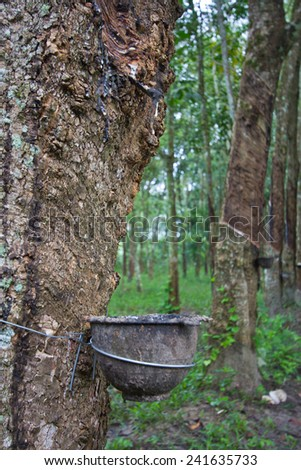 raw material rubber tree