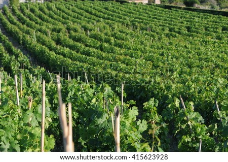 raw of grapevine in a southern italy vineyard - stock photo