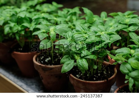 Raw of orange Basil  pots