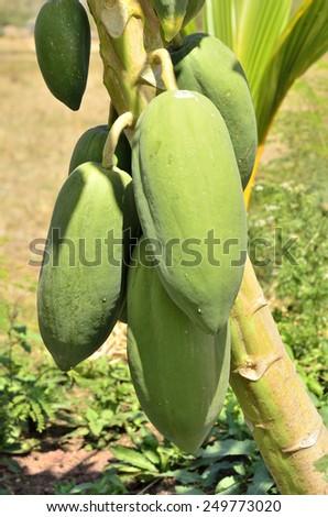 Raw papaya fruit on the tree - stock photo