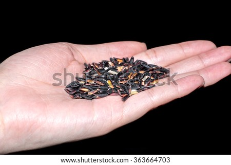 raw rice berry in hands holding isolated on black background