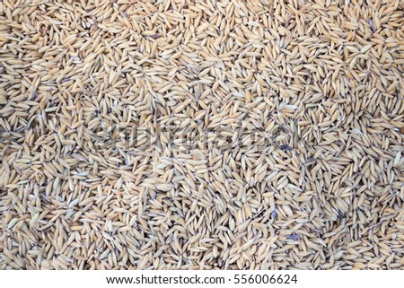 Raw rice dried on field, stock photo