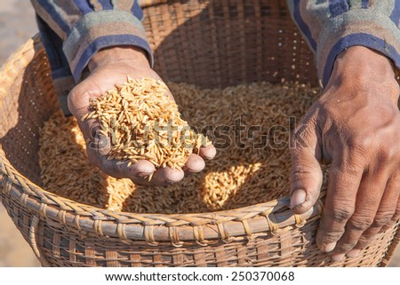 raw rice in farmer 's hand and basket at outdoor background - stock photo