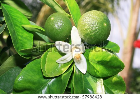 Raw tangerines and flower on tree.