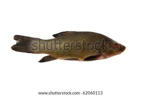 Raw tench isolated on white background