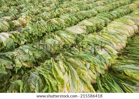 Raw Tobacco Leaf From Garden