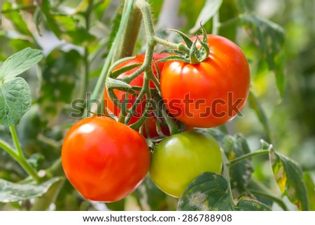 raw tomatoes in the garden. Shallow depth of field. - stock photo