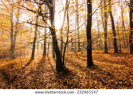 rays of light in autumn beech forest
