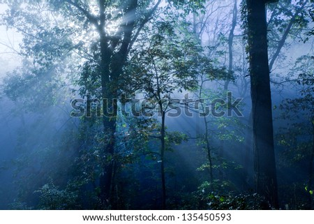 Rays of light through think forest fog