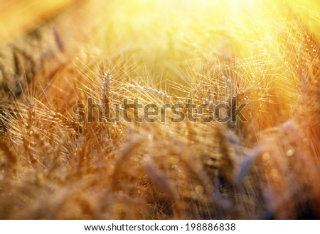 Rays of the setting sun on beautiful wheat field - stock photo