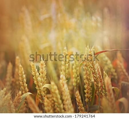 Rays of the setting sun on wheat field  - stock photo