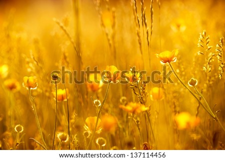Rays of the setting sun on yellow flowers- meadow flowers