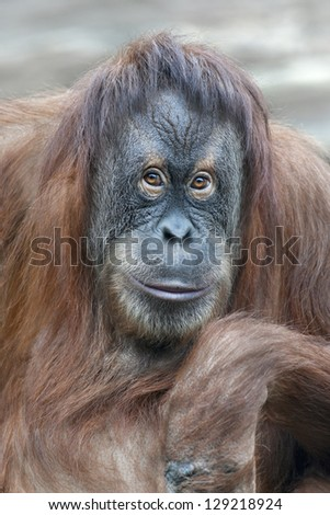 reading thoughts look  of an orangutan female - stock photo