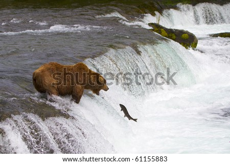 Ready for the Catch - Grizzly bear ready to catch a jumping salmon. - stock photo