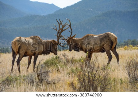 Ready to Fight - Two strong mature bull elks have their antlers rubbing against each other and are ready to fight. - stock photo