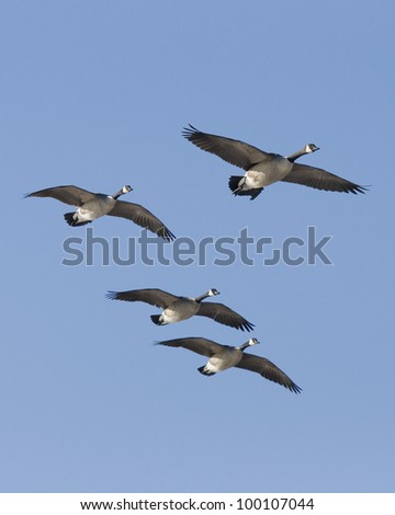 Ready to Land Group Of Canadian Geese - stock photo