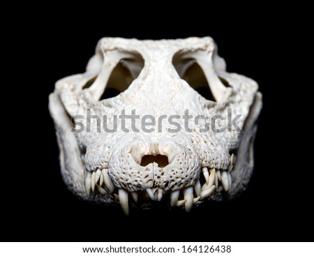 Real animal crocodile scull. Photo with black background - stock photo