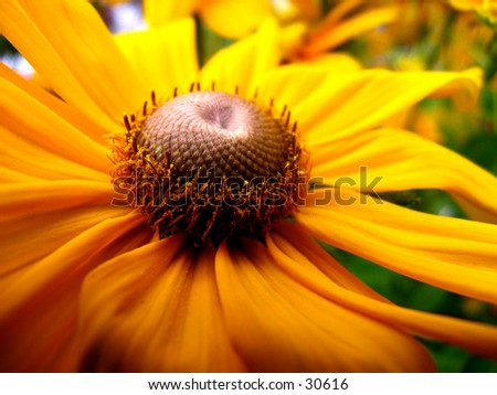 Real Close-up of a Daisy - stock photo