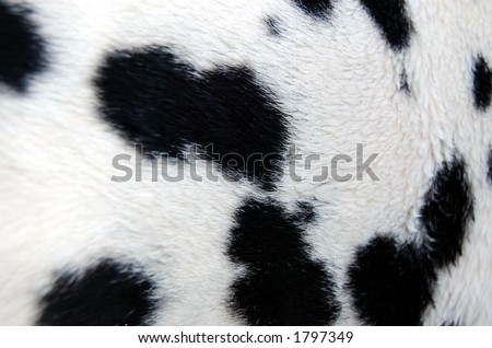 Real Dalmation Spotted Fur - stock photo
