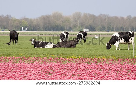 Real dutch cows in the pasture with tulips