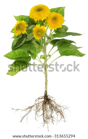 Real environmentally friendly field sunflower with roots and flowers.  Isolated studio shot