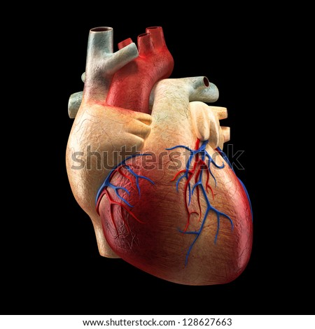 Real Heart Isolated on black - Human Anatomy model