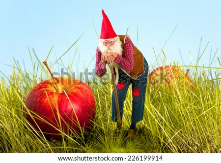 Real life garden gnome standing beside an apple - stock photo