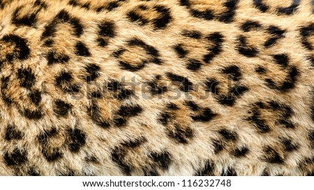 Real Live North Chinese Leopard Skin Texture Background Panthera Pardus Japonensis - stock photo