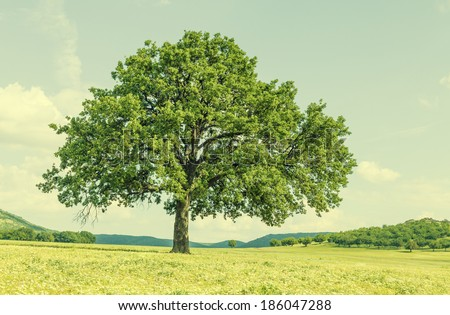 "Real lonely tree in summer day background. ""Dobrogea"" land, in Tulcea, Romania. - stock photo"