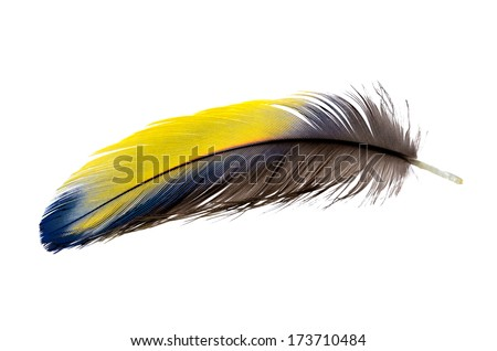 Real MACAW bird Feather. Natural colors: Blue, Yellow, Grey. Isolated on white background.  - stock photo