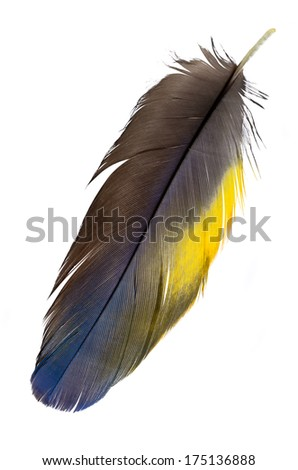 Real MACAW bird Feather. Natural colors: Blue, Yellow,Grey. Isolated on white background.  - stock photo