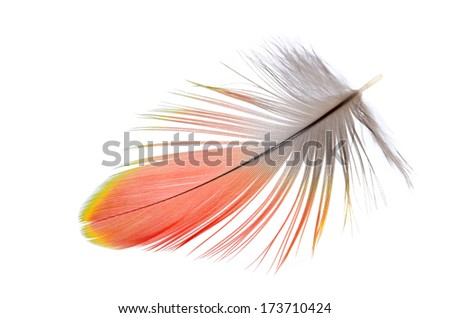 Real MACAW bird Feather. Natural colors: Red, Grey. Isolated on white background.