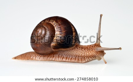 Real snail isolated on White background. - stock photo