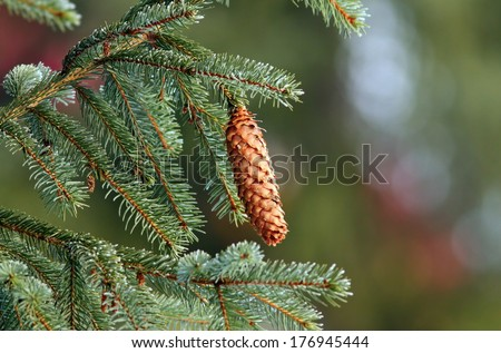 real wild spruce ( picea abies ) cone up in the tree - stock photo