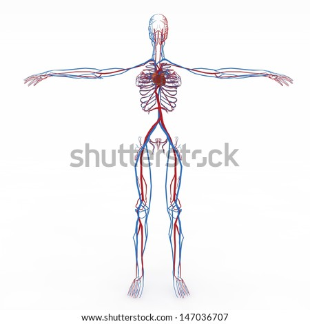 Realistic, detailed and anatomically accurate Female  Nervous, Muscular, skeletal,  Circulatory Heart, eathers