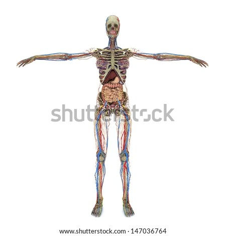 Realistic, detailed and anatomically accurate Female  Nervous, Muscular, skeletal,  Circulatory Heart, eathers  - stock photo