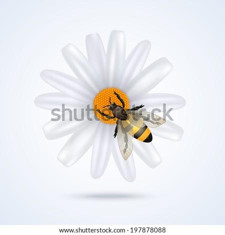 Realistic honey bee on daisy flower isolated on white background  illustration - stock photo