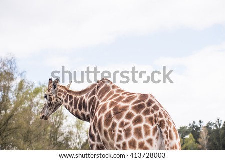 Rear part of a reticulated giraffe . In the background forest landscape