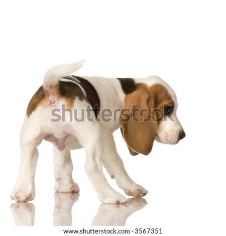 rear view of a Beagle puppy in front of a white background