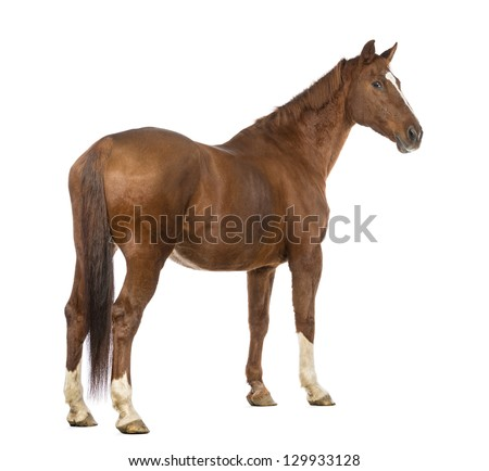 Rear view of a Horse looking back in front of white background - stock photo