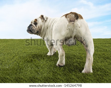 Rear view of a male British bulldog standing on grass against the sky - stock photo