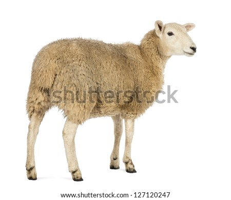 Rear view of a Sheep looking away against white background