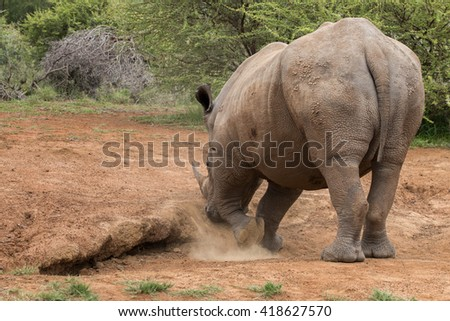 Rear view of a standing adult White Rhinoceros scraping the dirt with its foot (Ceratotherium simum) in Pilansberg, South Africa