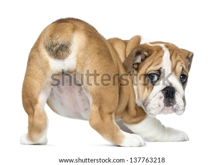 Rear view of an English Bulldog Puppy bottom up, 2 months old, isolated on white - stock photo