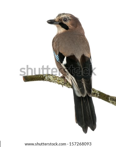 Rear view of an Eurasian Jay perching on a branch, Garrulus glandarius, isolated on white