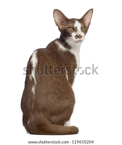 Rear view of an Oriental Shorthair sitting and looking away against white background - stock photo
